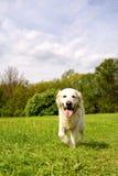 χρυσό retriever σκυλιών περπάτημα στοκ εικόνα με δικαίωμα ελεύθερης χρήσης