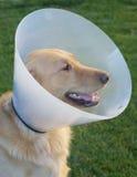 Χρυσό Retriever σκυλί με τον κώνο Στοκ φωτογραφίες με δικαίωμα ελεύθερης χρήσης