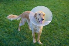 Χρυσό Retriever σκυλί με τον κώνο Στοκ Εικόνες