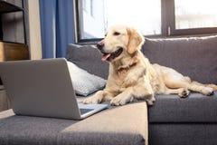 Χρυσό retriever σκυλί που βρίσκεται στον καναπέ με το lap-top στο εσωτερικό Στοκ φωτογραφία με δικαίωμα ελεύθερης χρήσης