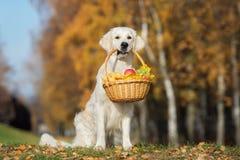 χρυσό retriever σκυλί που κρατά ένα καλάθι υπαίθρια το φθινόπωρο στοκ εικόνα