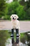 Χρυσό retriever σκυλί στις μπότες βροχής που στέκονται σε μια λακκούβα Στοκ φωτογραφίες με δικαίωμα ελεύθερης χρήσης