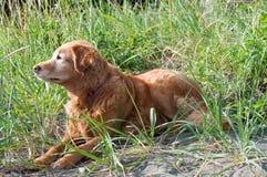 Χρυσό Retriever σκυλί Στοκ Φωτογραφίες