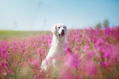 Χρυσό Retriever σκυλιών στα λουλούδια Στοκ Εικόνα