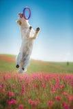 Χρυσό Retriever σκυλιών στα λουλούδια Στοκ Φωτογραφίες