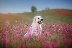 Χρυσό Retriever σκυλιών στα λουλούδια Στοκ Φωτογραφία