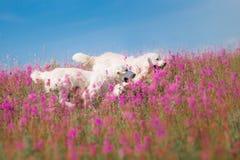 Χρυσό Retriever σκυλιών στα λουλούδια Στοκ εικόνες με δικαίωμα ελεύθερης χρήσης