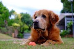χρυσό retriever σκυλιών Στοκ φωτογραφίες με δικαίωμα ελεύθερης χρήσης