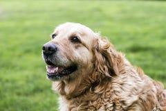 χρυσό retriever σκυλιών Στοκ εικόνες με δικαίωμα ελεύθερης χρήσης
