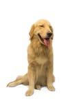 Χρυσό Retriever χαμόγελου Στοκ εικόνες με δικαίωμα ελεύθερης χρήσης