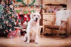 Χρυσό retriever, Χριστούγεννα και νέο έτος Στοκ Εικόνες