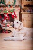 Χρυσό retriever, Χριστούγεννα και νέο έτος Στοκ Φωτογραφία