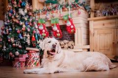 Χρυσό retriever, Χριστούγεννα και νέο έτος Στοκ φωτογραφία με δικαίωμα ελεύθερης χρήσης
