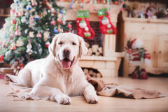 Χρυσό retriever, Χριστούγεννα και νέο έτος Στοκ φωτογραφίες με δικαίωμα ελεύθερης χρήσης