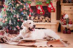 Χρυσό retriever, Χριστούγεννα και νέο έτος Στοκ εικόνα με δικαίωμα ελεύθερης χρήσης