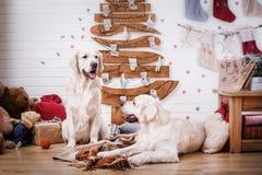 Χρυσό retriever, Χριστούγεννα και νέο έτος Στοκ Φωτογραφίες