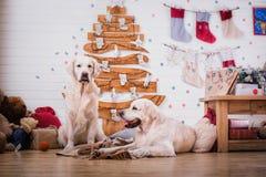 Χρυσό retriever, Χριστούγεννα και νέο έτος Στοκ εικόνες με δικαίωμα ελεύθερης χρήσης