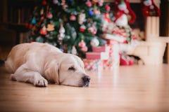 Χρυσό retriever, Χριστούγεννα και νέο έτος Στοκ Εικόνα