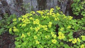 Χρυσό saxifrage φιλμ μικρού μήκους