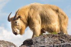 χρυσό takin Στοκ φωτογραφία με δικαίωμα ελεύθερης χρήσης