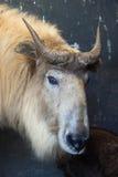 Χρυσό takin (bedfordi taxicolor Budorcas) Στοκ Φωτογραφίες