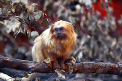 χρυσό tamarin λιονταριών Στοκ Εικόνες