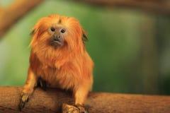 Χρυσό tamarin λιονταριών Στοκ Εικόνα