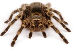 χρυσό tarantula γονάτων chaco στοκ φωτογραφίες