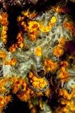 Χρυσό Zoanthid στο πράσινο σφουγγάρι δάχτυλων Στοκ Εικόνες