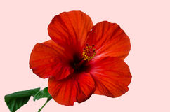 Χρωματίζει το όμορφο λουλούδι Στοκ Εικόνες