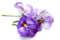 χρωματίζει pansies την άνοιξη Στοκ Εικόνες