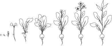 Χρωματίζοντας σελίδα Στάδια της αύξησης ραδικιών από το σπόρο και το νεαρό βλαστό στο άνθισμα και το fruit-bearing φυτό απεικόνιση αποθεμάτων