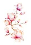 Χρωματίζοντας ταπετσαρία λουλουδιών Magnolia Συρμένο χέρι Watercolor floral Στοκ Φωτογραφία