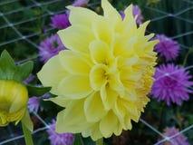 Χρωματίστε την ημέρα σας με αυτό το όμορφο λουλούδι Στοκ εικόνα με δικαίωμα ελεύθερης χρήσης