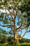 Χρωματισμένα δέντρα Maui Χαβάη Στοκ Φωτογραφία