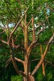 Χρωματισμένα δέντρα Maui Χαβάη Στοκ Εικόνες