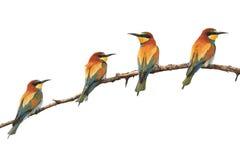 Χρωματισμένα παράδεισος πουλιά που κάθονται σε ένα απομονωμένο κλάδος λευκό Στοκ Φωτογραφία