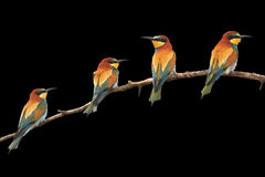 Χρωματισμένα παράδεισος πουλιά που κάθονται στον απομονωμένο κλάδος Μαύρο Στοκ φωτογραφία με δικαίωμα ελεύθερης χρήσης