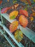 Χρωματισμένα φθινόπωρο φύλλα δέντρων οξιών Στοκ φωτογραφίες με δικαίωμα ελεύθερης χρήσης