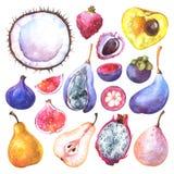 Χρωματισμένα χέρι εξωτικά φρούτα watercolor καθορισμένα διανυσματική απεικόνιση