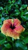 Χρωματισμένα hibiscus παρόμοια Στοκ φωτογραφία με δικαίωμα ελεύθερης χρήσης