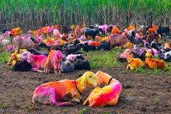 Χρωματισμένες αίγες που στηρίζονται το πρωί Kolhapur Στοκ Εικόνες