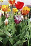 Χρωματισμένες διπλάσιο τουλίπες που φθάνουν για τον ήλιο στοκ εικόνα με δικαίωμα ελεύθερης χρήσης