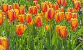 Χρωματισμένες κόκκινος-πορτοκαλής-κίτρινο τουλίπες Στοκ εικόνα με δικαίωμα ελεύθερης χρήσης