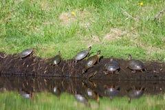 χρωματισμένες χελώνες Στοκ φωτογραφίες με δικαίωμα ελεύθερης χρήσης