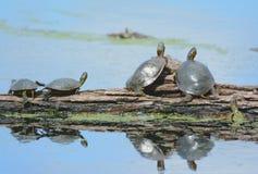 Χρωματισμένες χελώνες που λιάζουν σε ένα κούτσουρο Στοκ Εικόνες