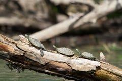 Χρωματισμένες χελώνες σε μια σειρά Στοκ φωτογραφίες με δικαίωμα ελεύθερης χρήσης