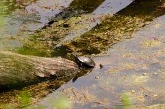 Χρωματισμένη αναρρίχηση χελωνών στοκ φωτογραφίες