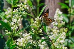 Χρωματισμένη γυναικεία πεταλούδα στο άσπρο λουλούδι ενάντια στον ξύλινο φράκτη στοκ εικόνα με δικαίωμα ελεύθερης χρήσης