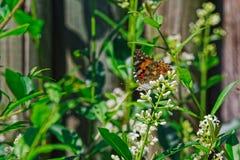 Χρωματισμένη γυναικεία πεταλούδα στο άσπρο λουλούδι ενάντια στον ξύλινο φράκτη στοκ εικόνες